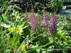 Picture of Astilbe Chinensis.