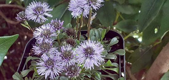 Picture of Globularia repens
