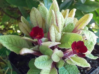 Picture of Primula Cowichan