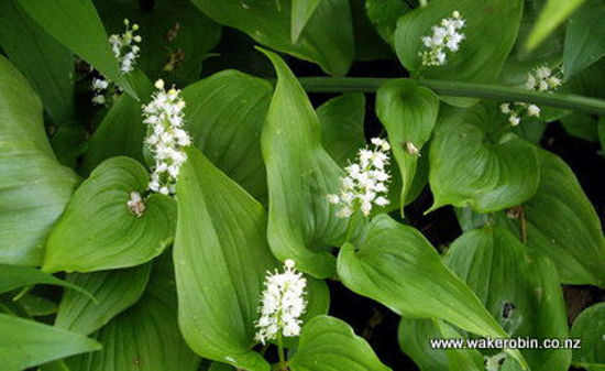 Picture of Maimanthemum bifolium