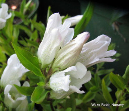 Picture of Gentiana triflora 'White Magic'