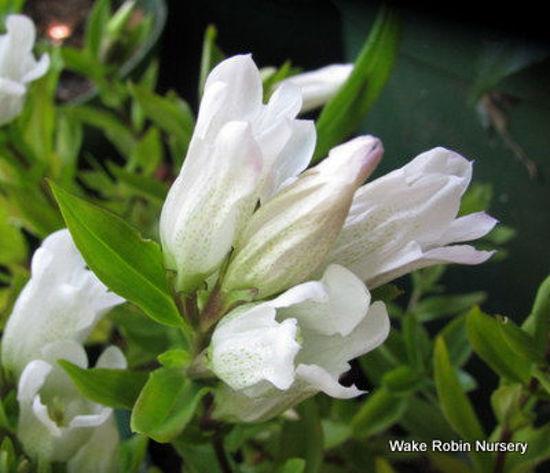 Picture of Gentiana triflora 'White Magic'