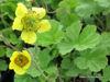 Picture of Geum montanum mixed