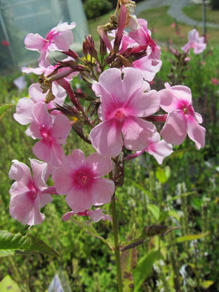 Picture of Phlox paniculata Pale Pink