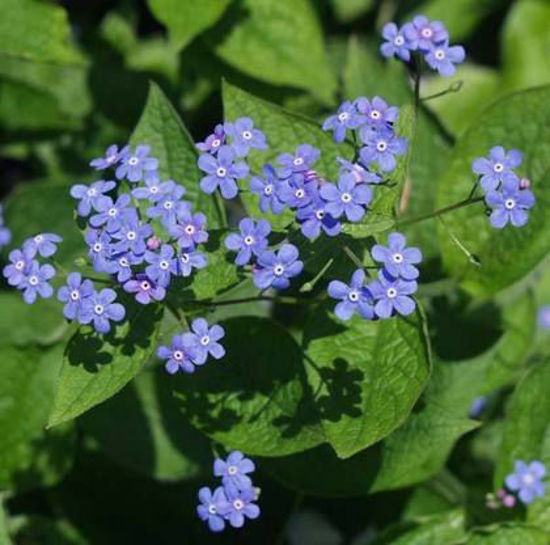 Picture of Brunnera macrophylla