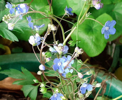 Picture of Omphalodes 'Kuzinskyana'
