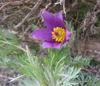 Picture of Pulsatilla vulgaris 'Violet Bells'