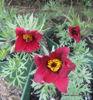 Picture of Pulsatilla vulgaris 'Red Bells'