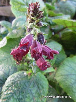 Picture of Salvia Castanea