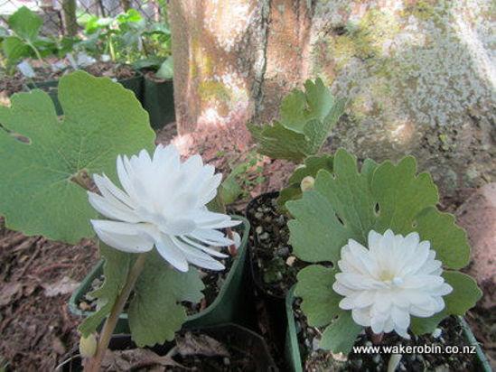 Picture of Sanguinaria canadensis 'Plena'
