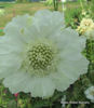 Picture of Scabiosa caucasica 'Fama White'