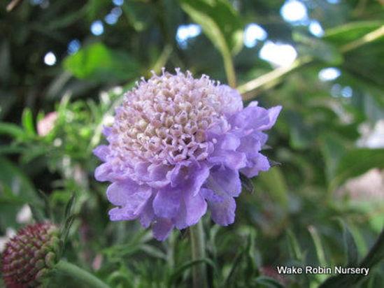 Picture of Scabiosa caucasica Lavender Blue
