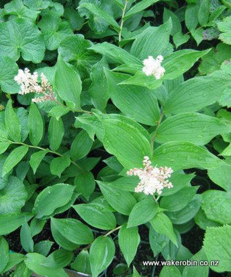 Picture of Maimanthemum racemosum