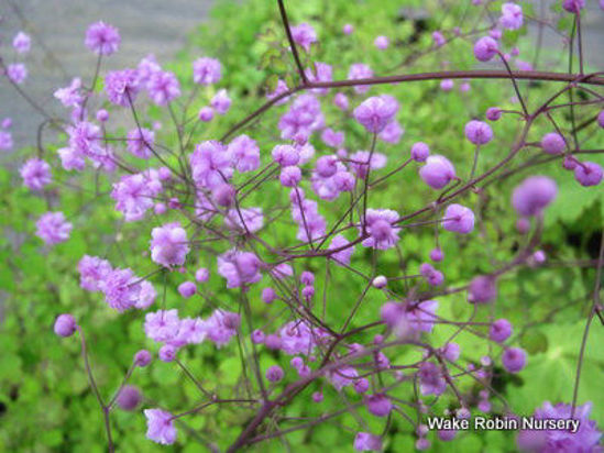 Picture of Thalictrum delavayi 'Hewitts Double'