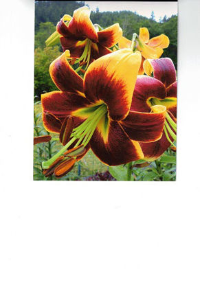 Picture of Lilium Red Morning