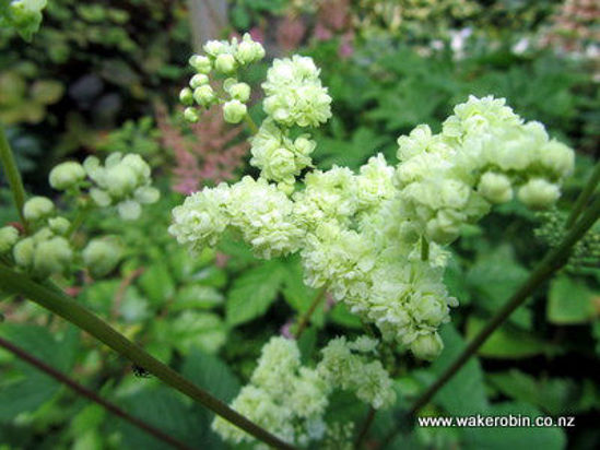 Picture of Filipendula Double Cream