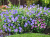 "Picture of Geranium x ""Johnstons Blue"""