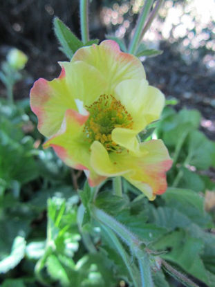 Picture of Geum rivale - lemon/pink