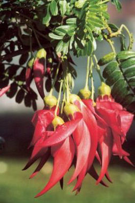 Picture of Clianthus puniceus
