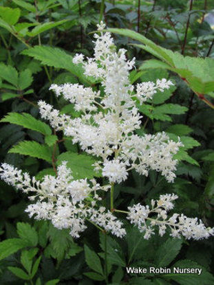 Picture of Astilbe 'Diamante'