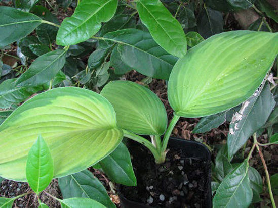 Picture of Hosta fortunei 'Gold Standard'