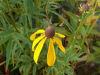Picture of Ratibida pinnata (Yellow Coneflower)