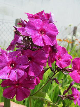 "Picture of Phlox Paniculata ""Le Madhi"""