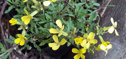 Picture of Erysimum Lemon Mist