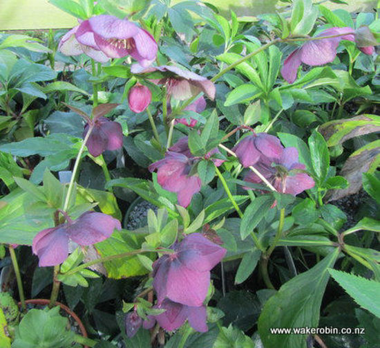 Picture of Helleborus Pink Hybrid