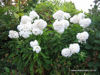 Picture of Phlox Paniculata 'White Admiral'