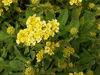 Picture of Alyssum saxatilis citrinum