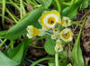 Picture of Primula Auricula - mixed greens