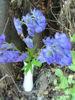 Picture of Aconitum Napellus