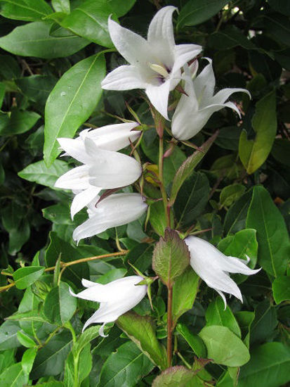 Picture of Campanula latifolia alba
