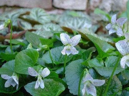 Picture of Viola sororia 'Freckles'