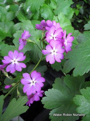Picture of Primula sieboldii Bright Pink