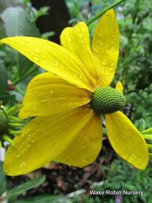Picture of Rudbeckia laciniata
