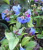 Picture of Pulmonaria angustifolia
