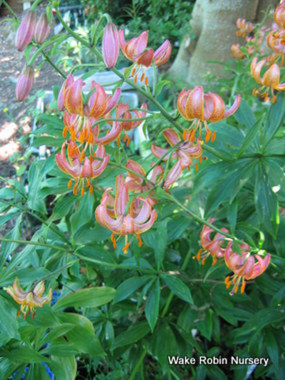 Picture of Lilium martagon Pink/Buff Yellow