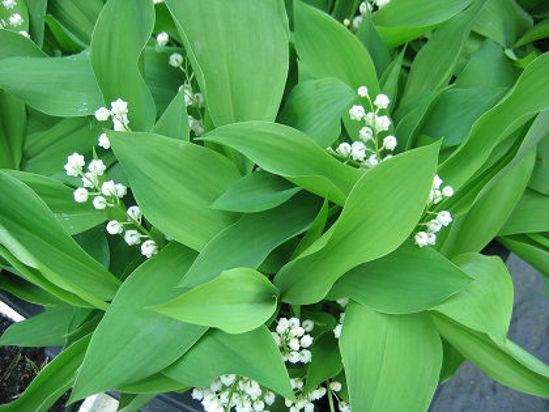 Picture of Convallaria majalis