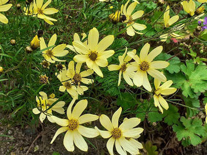 Picture of Coreopsis verticillata 'Moonbeam'