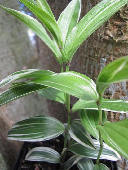 Picture of Disporum sessile variegatum