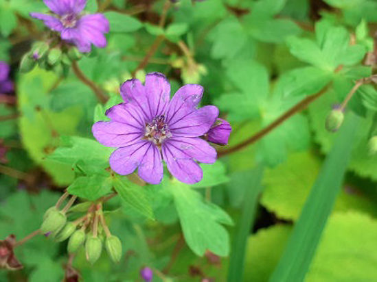 Picture of Geranium Pyrenaicum 'Bill Wallis'