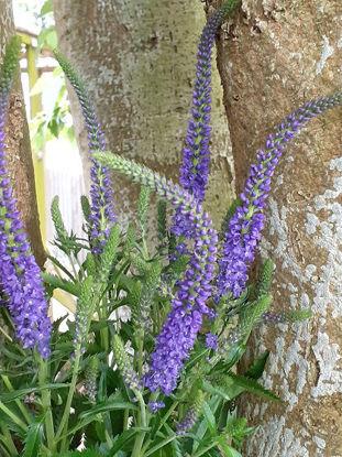 Picture of Veronica spicata Purple