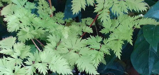 Picture of Aruncus aesthusifolius