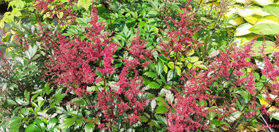 Picture of Astilbe 'Montgomery'