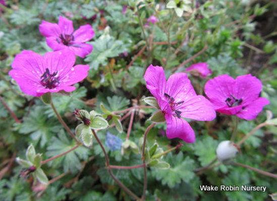 Picture of Geranium cinerum var. subcaulescens