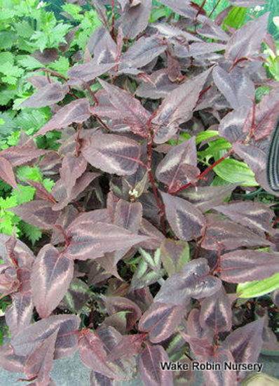 Picture of Persicaria microcephala 'Red Dragon'