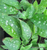 Picture of Pulmonaria saccharata 'Leopard'