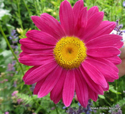 Picture of Pyrethrum coccineum 'Robinson's Red'